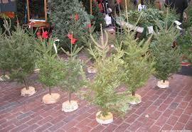 christmas trees on sale anali s amendment brown christmas trees
