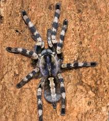 tarantula species catalog 3 album on imgur