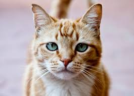research finds that cat parasite could be linked to mental illness