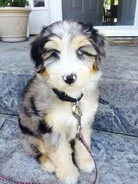 australian shepherd husky mix best 25 husky poodle mix ideas on pinterest cutest dog mixes