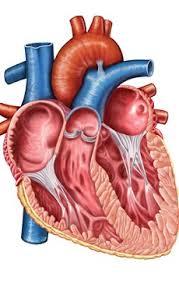 Anatomy Of Human Heart Pdf 40 Interesting Human Heart Facts Factretriever Com