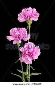 Purple Carnations Pink Carnations On A Black Background Stock Photo Royalty Free