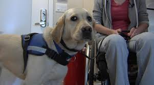 frustrated by fake service dogs nbc bay area