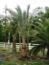 sylvester palm tree price palm trees of houston prices palm tree prices palm tree specials