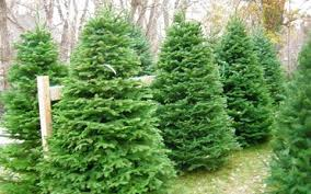 noble fir christmas tree ksl deals 6 7 noble fir christmas tree with delivery