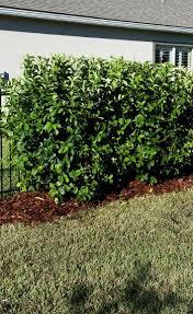 Flowering Privacy Shrubs - s u0026 j tree farm and nursery shrubs for privacy screens in