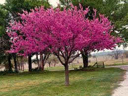Purple Leaf Peach Tree by Rosebud Tree Start To Flower Early In The Spring Adaptable