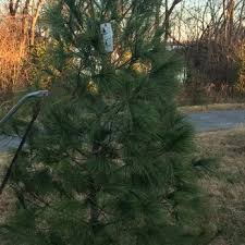 spillman christmas tree farm christmas trees 1576 will