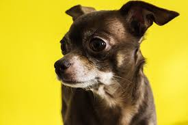 best dog food for chihuahuas the smallest dog breed