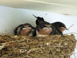 Barn Swallow Eggs The Bird Diaper A Solution To The Messy Porch Problem Lemon Bay