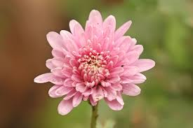 Flower by Chrysanthemum Wikipedia