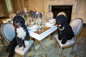 file obama family pets bo left and sunny sit at a table in the
