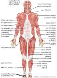 The Human Anatomy Pictures Human Muscle System Britannica Com