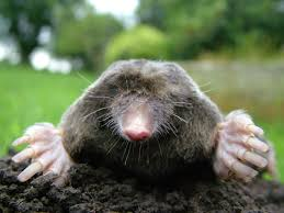 How To Get Rid Of A Skunk In Your Backyard How To Get Rid Of Moles And Voles And Gophers