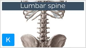 Human Vertebral Column Anatomy Lumbar Spine Anatomy Diagram U0026 Definition Human Anatomy