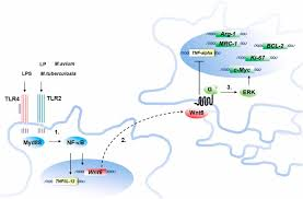 Silver Airways Route Map by Wnt6 Is Expressed In Granulomatous Lesions Of Mycobacterium
