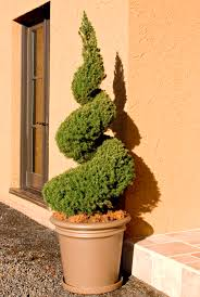 Real Topiary Trees For Sale - dwarf alberta spruce monrovia dwarf alberta spruce
