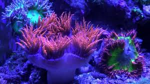 rock flower anemone spawning 1080p youtube