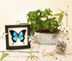 papilio ulysses for sale blue mountain swallowtail butterfly