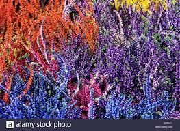 heathers autumn winter flowering calluna flower flowers garden