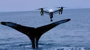 Whale Biologists Are Now Collecting Whale Snot With Drones Motherboard