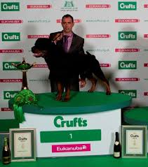 crufts australian shepherd 2014 dogs in the news