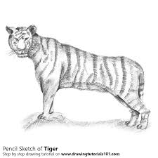 tiger pencil drawing how to sketch tiger using pencils