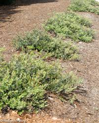 native plant salvage foundation arctostaphylos u0027pacific mist u0027 inland valley garden planner