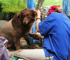 australian shepherd vomiting australian shepherd pets people and life