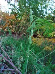 vascular plants of the gila wilderness vascular plants of the gila wilderness dactylis glomerata