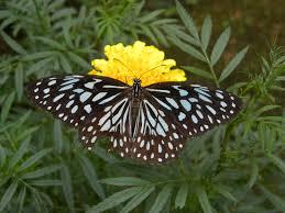 file blue tiger butterfly from kerala jpg wikimedia commons