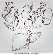 kidney drawing stock images royalty free images u0026 vectors