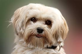 affenpinscher havanese mix havanese dog breed information pictures characteristics u0026 facts