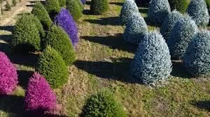 gaudy or nice this christmas tree farm will paint yours purple