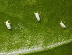 whitefly solutions and control bayer advanced