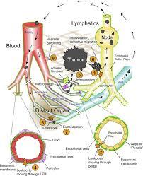 traversing the basement membrane in vivo a diversity of