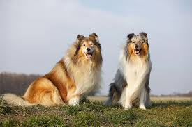 australian shepherd dogtime collie dog breed information pictures characteristics u0026 facts