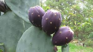 edibles fruits are all the fruits of cacti edible quora