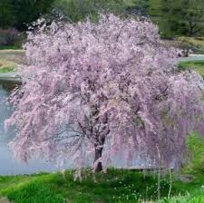 blossom trees for small gardens exhort me