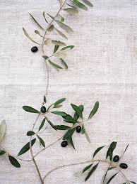 the sages teach that the olive branch has a meaning of its