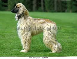 weimaraner vs afghan hound hound standing on grass stock photos u0026 hound standing