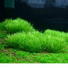 riccia moss aquarium terrarium plant bush gardening on carousell