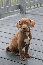 american pitbull terrier in india american pit bull terrier wikipedia