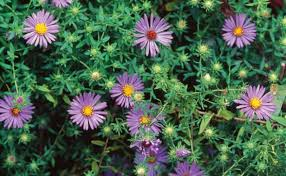 perennial plants for fall perennial flowers hgtv flowering ground covers finegardening