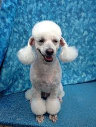 standard poodle hair styles pet poodle puffs a lost art bbird s groomblog