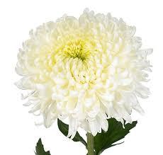 halamang gamot manzanilla chrysanthemum
