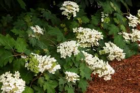 White Oak Leaf Wee Oak Leaf Hydrangea Monrovia Wee Oak Leaf Hydrangea