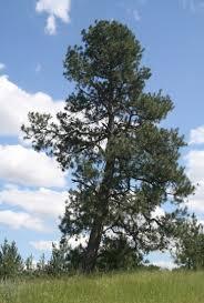 Pine Tree Flag Landmarks Treaty Tree On Peone Prairie Still Stands The