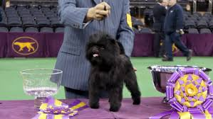 affenpinscher dog names cutest dog with cutest name wins cutest in show at westminster