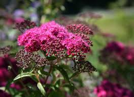 crush yarrow plant leaves to stop bleeding home remedies 8